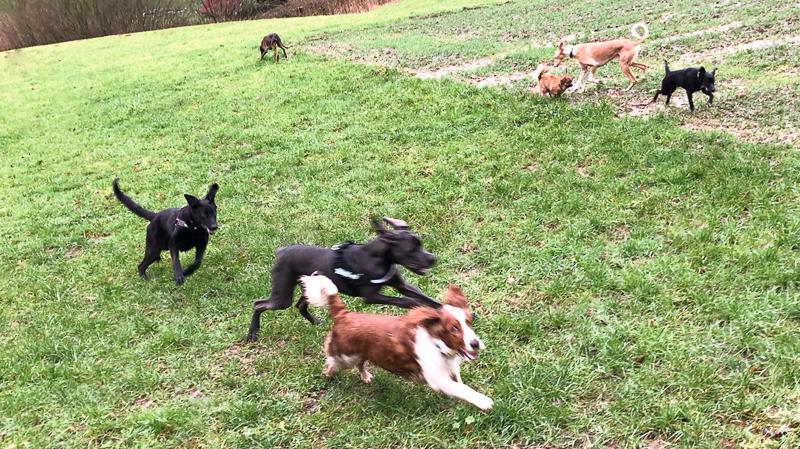 Hundespaziergang mit kontrolliertem Spielen bei der Hundeschule in Lahr
