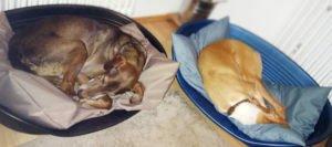 Hundebettwäsche im Einsatz - Kissenfarbe braun (links) und hellblau (rechts)